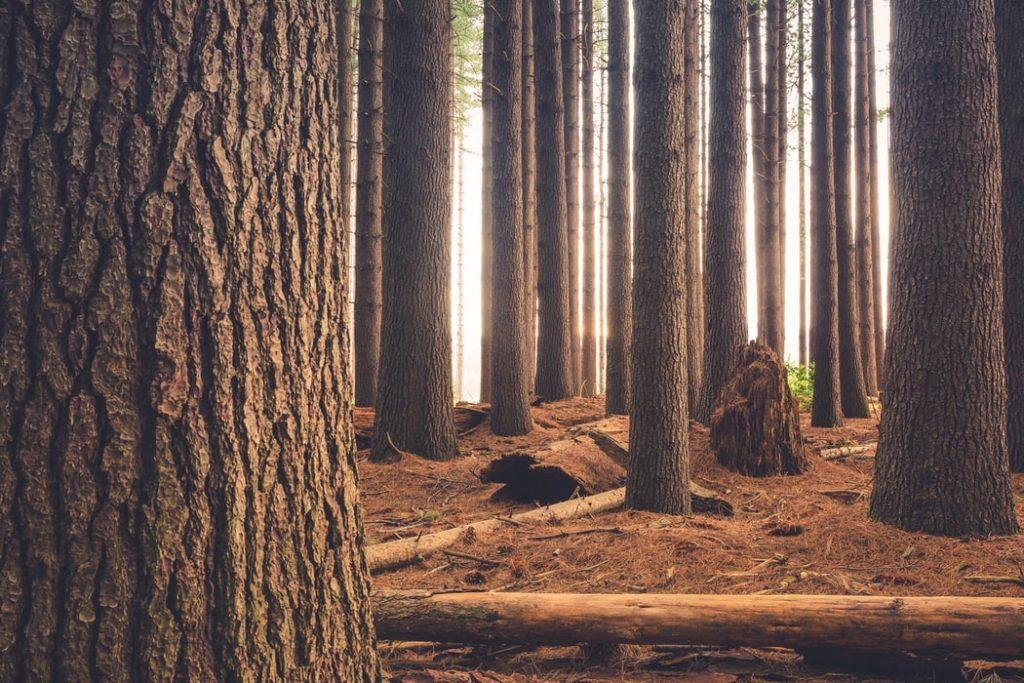 bomen klaar voor de kap.